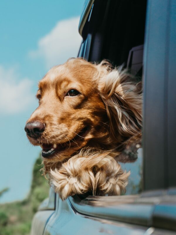 spaniel leaning out of a window
